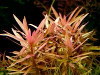 Ammannia Gracilis, Red Ammannia, Pink Ammannia