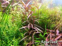 Hygrophila Lancea Sarawak
