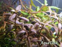hygrophila sp bold