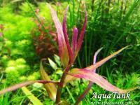 Limnophila sp. Sulawesi