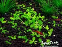 Micranthemum sp. Monte Carlo-3