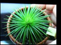 Eriocaulon sp. Polaris From An Son River seeds